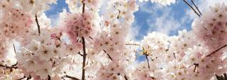 Image of cherry blossoms